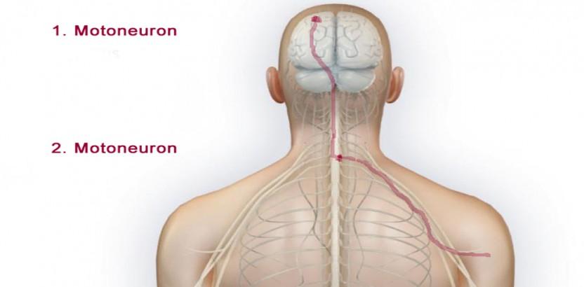 Motoneurone_virtuelles_gehirn_zns_peripheresNS_rückansicht_mann_halb_motoneurone